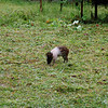 As we found in the highlands of Papua New Guinea, pigs were very important and valuable in the Sepik River area too. Paru Village, near Sio, Upper Sepik River area, Papua New Guinea