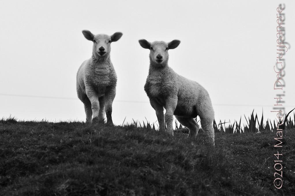 Twin Sheep
