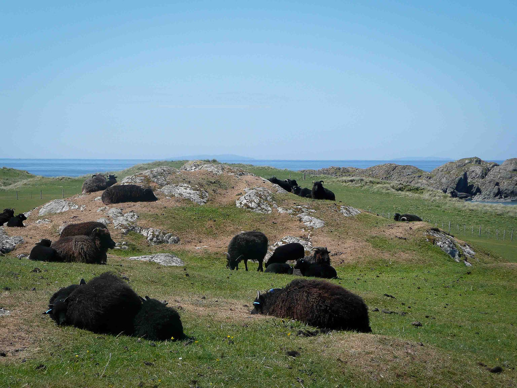 The famous black sheep of Iona.