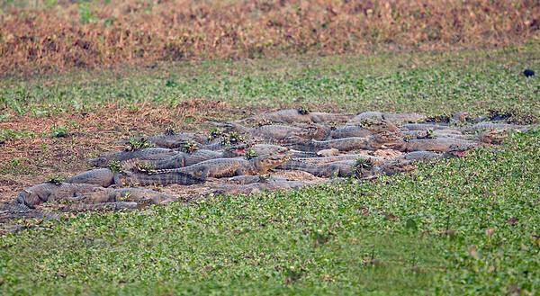 Caiman Pantanal_7I2B8289_10-09-1086131184-O