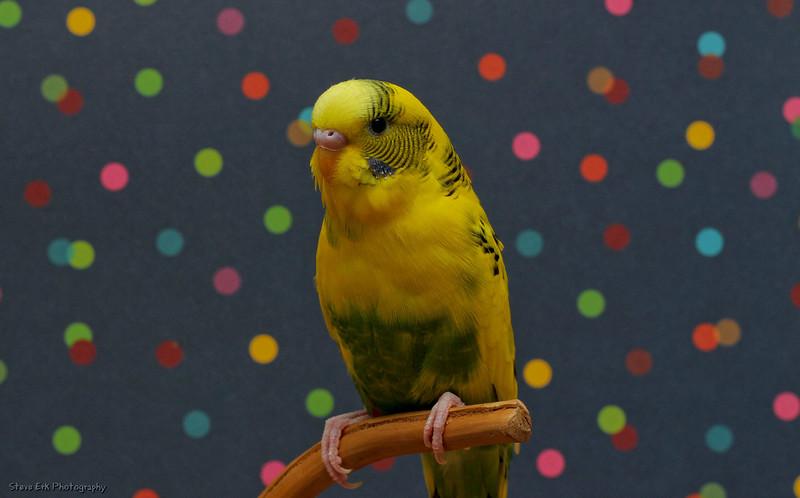 Waffles  the parakeet