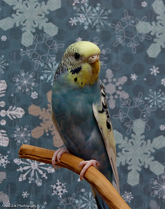 Pudding the Parakeet