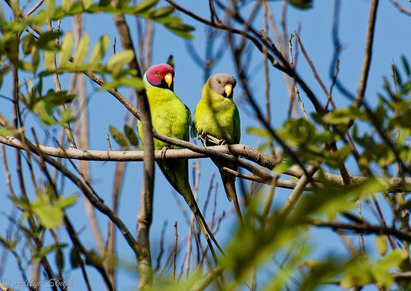 Plum-headed Parakeet (pair)