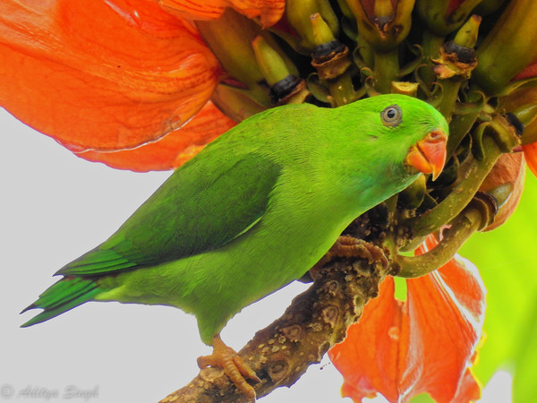 Vernal Hanging Parrot (female)