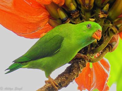 Vernal Hanging Parrot (female)