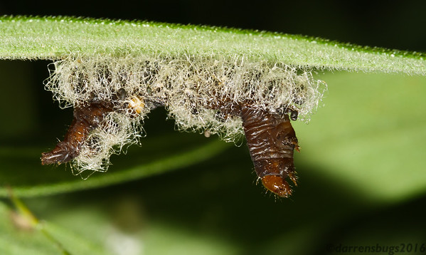 Caterpillar with evidence of parasitization by Eulophid wasps from Iowa.