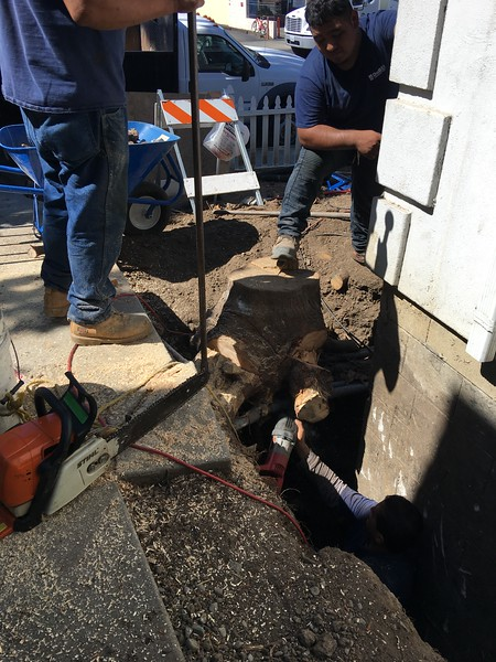 working to release fern pine roots out of between-pipe spaces