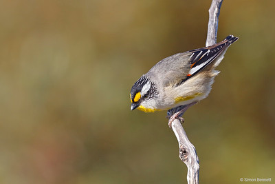 Striated Pardalote