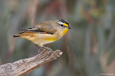 Pardalotes and Mistletoebird