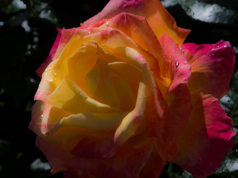 Roses at Rodin Garden