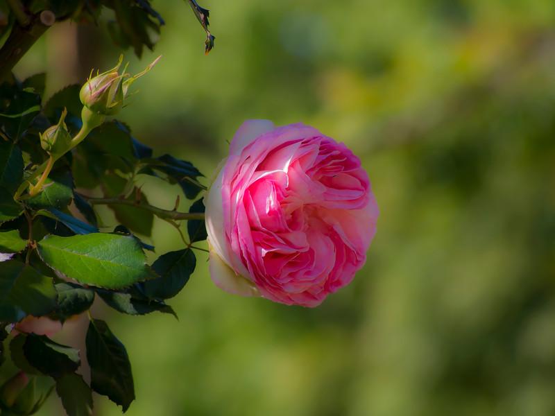 Roses in Luxembourg Garden Paris