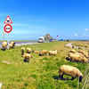 Sheep grazing at Mont Saint-Michel in Normandy, France