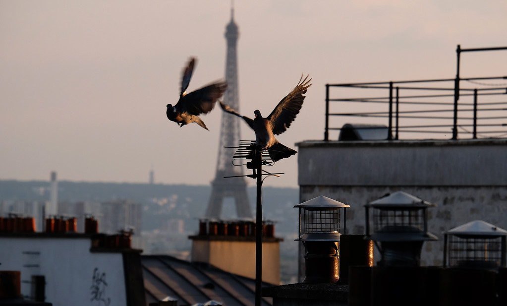 . Pigeons in Paris with the Eiffel Tower beyond. Photo by Shmuel Thaler
