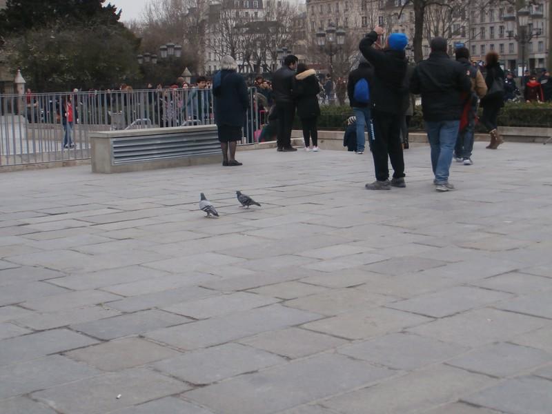 Pigeons of notre dame