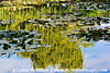 reflections in Monet's Lily Pond