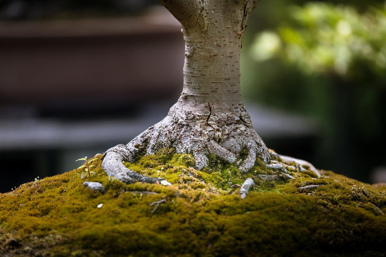 A bonsai in the Parc floral de Paris