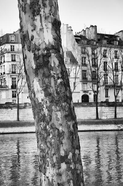 Paris Plane Tree