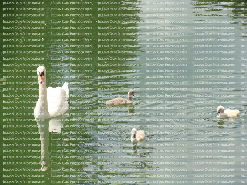 Swans in the lake at Chateau de Fountainbleu