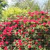 Red Camellia at the Chateau de Fountainbleu