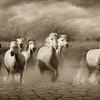 WILD WHITE HORSES OF THE CAMARGUE III