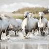 WILD WHITE HORSES OF THE CAMARGUE VII