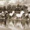 WILD HORSES OF THE CAMARGUE IV