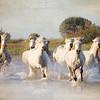 WILD WHITE HORSES OF THE CAMARGUE VI