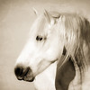 PORTRAIT OF A WILD HORSE ll  Sepia
