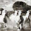 Wild Horses of the Camargue V