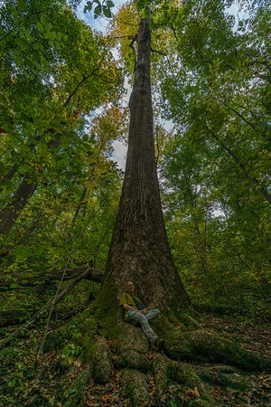 Large tuliptree along the Boogerman Trail in Cataloochee Valley, GSMNP