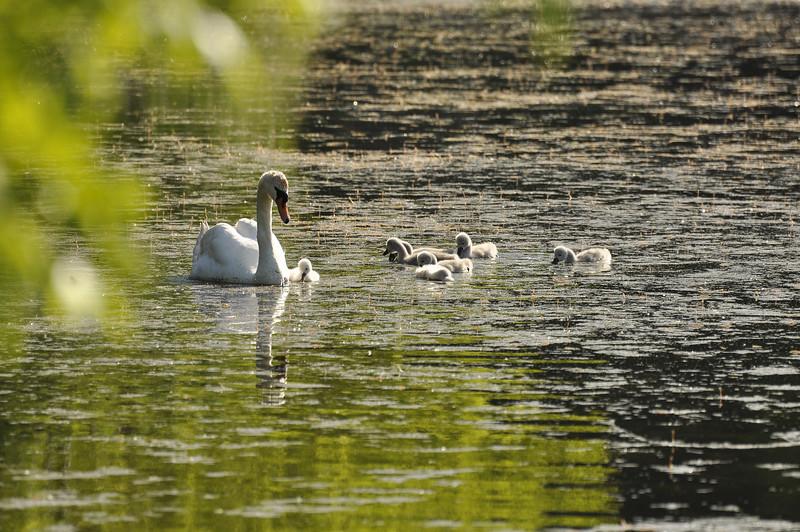 Durand swans 052409 4_DSC7581