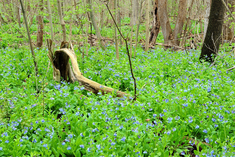 Bluebell woods 56 DSC_0195