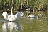 Durand swans 052409 14_DSC7619