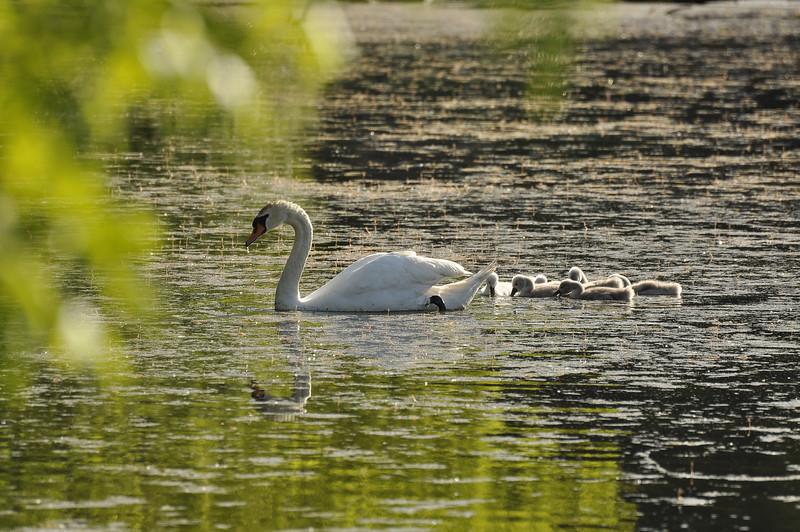 Durand swans 052409 3_DSC7579
