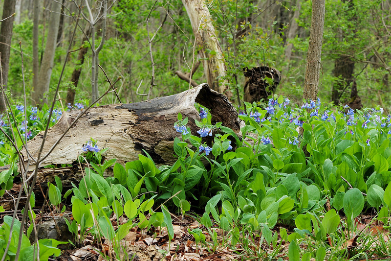 Bluebell woods 13 DSC_0091