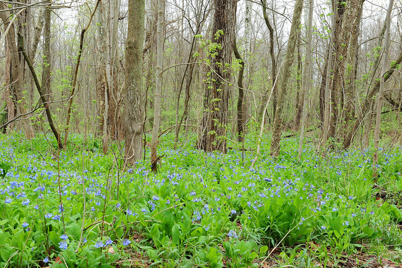 Bluebell woods 40 DSC_0154