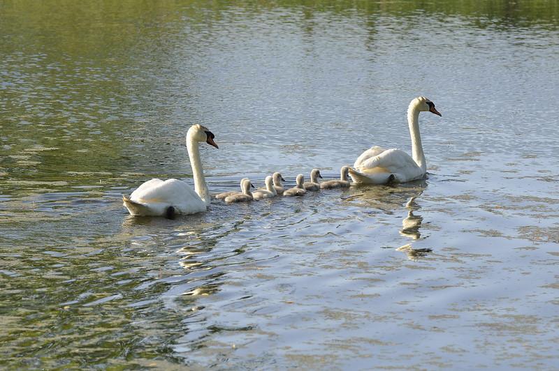 Durand swans 052409 12_DSC7612