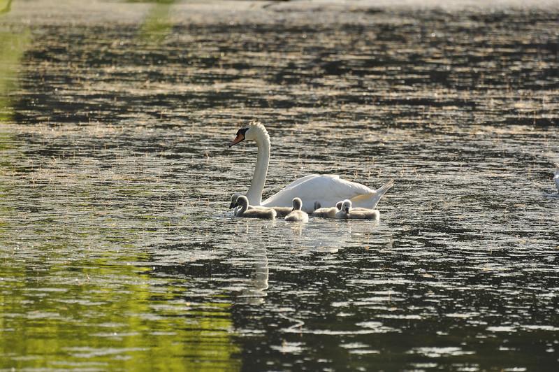 Durand swans 052409 2_DSC7576