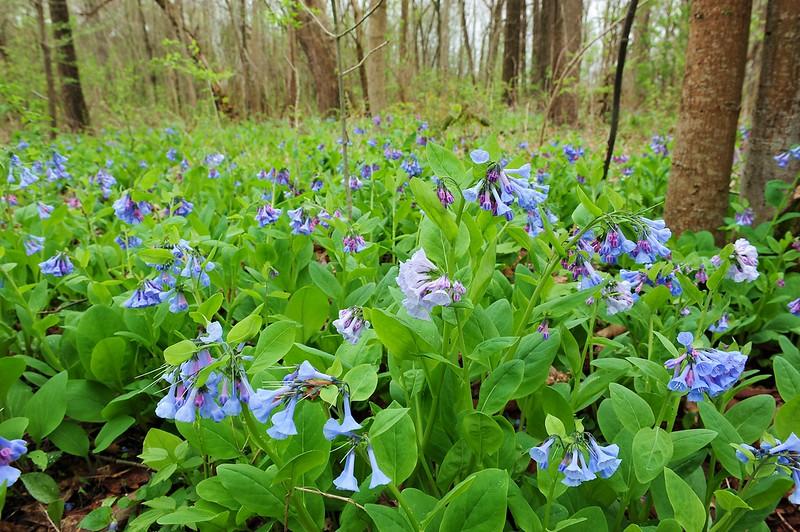 Bluebell woods 30 DSC_0135
