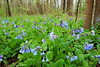 Bluebell woods 30 DSC_0135