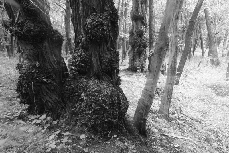 Troll woods black and white, Durand Eastman Park, Rochester NY.