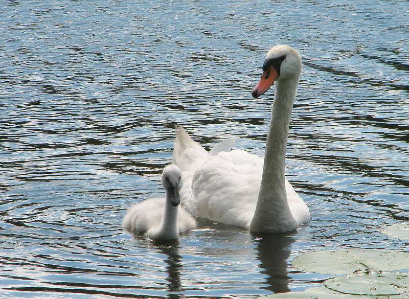 The Swans, Durand Eastman Park NY.