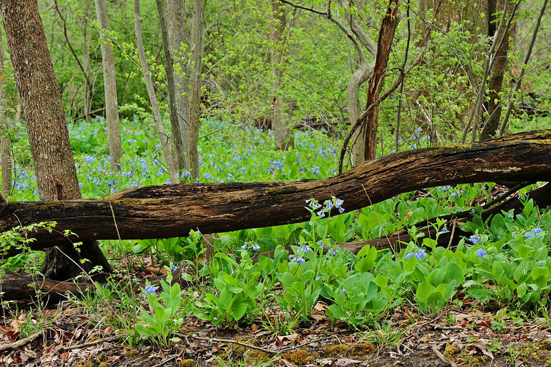 Bluebell woods 20 DSC_0104