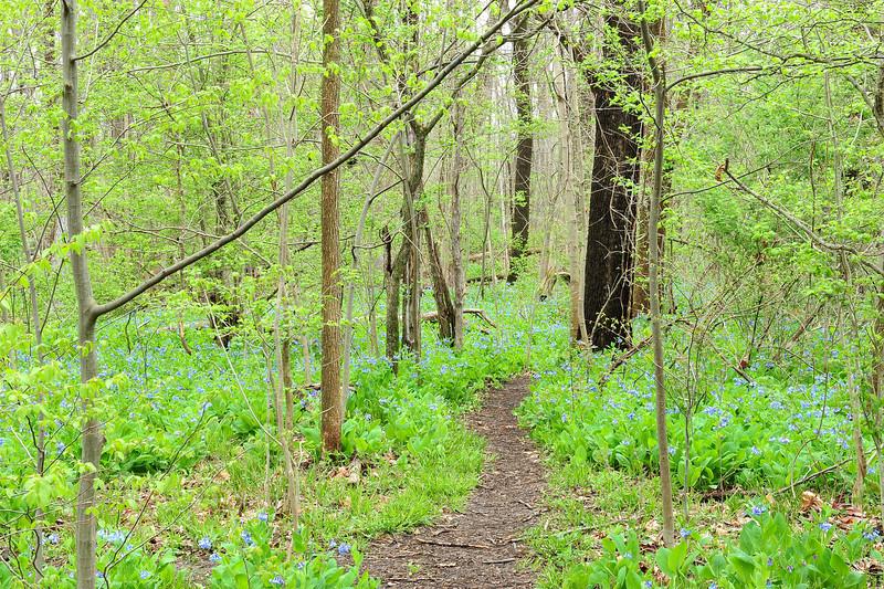Bluebell woods 52 DSC_0188
