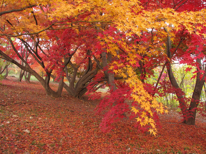 Red and yellow trees, Highland Park, Rochester NY.