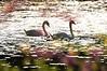 Durand swans 052409 7_DSC7591