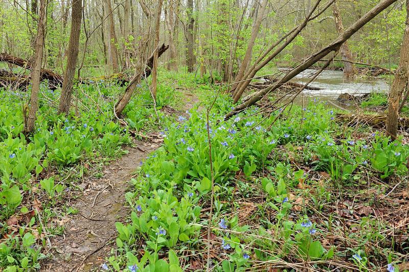 Bluebell woods 39 DSC_0151