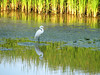 Egret in shallows, Turning Point Park, Rochester NY.