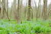 Bluebell woods 41 dreamy-one of my favorites DSC_0155