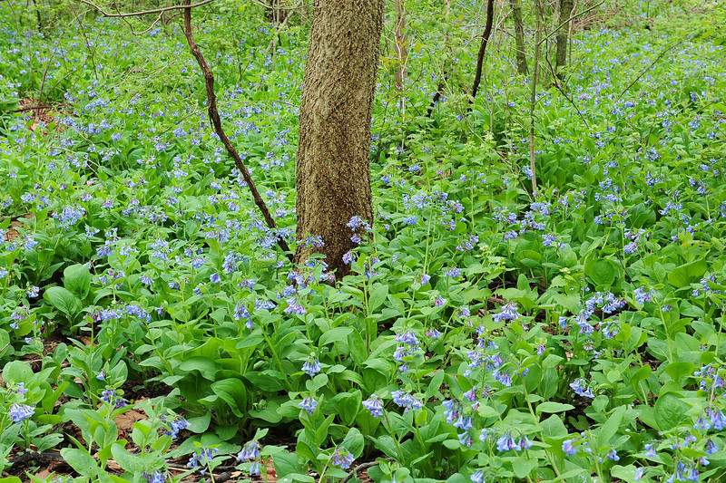 Bluebell woods 27 DSC_0127
